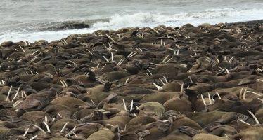 Inesperada multitud de morsas en una playa de Alaska