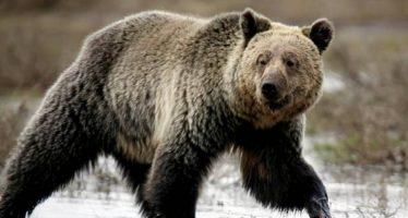 Wyoming aprueba la caza de osos grizzlies en las inmediaciones de Yellowstone