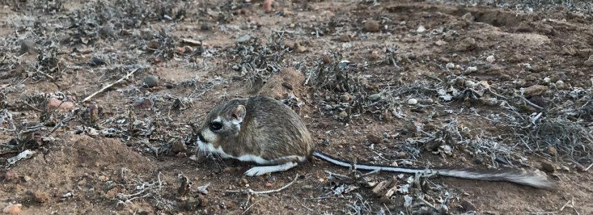 Redescubren en BC a la rata canguro de San Quintín (Dipodomys gravipes), roedor que desde 1986 se creía extinto en México