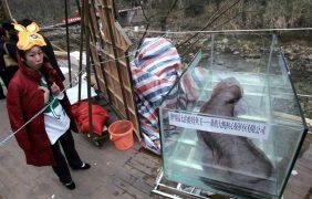 El mayor anfibio del mundo, en grave peligro de extinción por ser un manjar