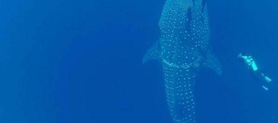 Rastrean al pez vivo más grande del mundo durante más de 20.000 kilómetros
