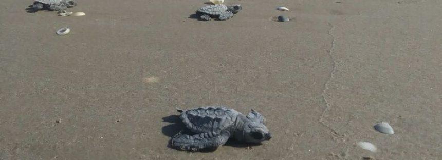 Ya con 216 mil anidaciones, nacieron las primeras crías de tortuga lora (Lepidochelys kempii) de 2018 en Tamaulipas
