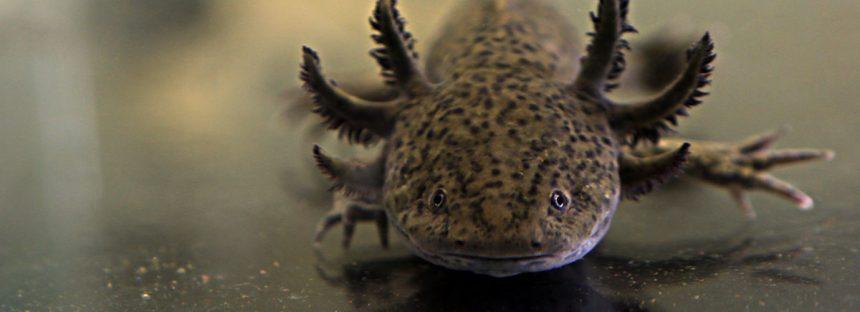 Comprueban científicos extinciones masivas de anfibios en América, debido al cambio de hábitat y enfermedades