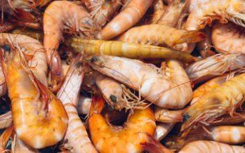Definen periodos y zonas de para la veda de camarón en el Golfo de México y Mar Caribe en 2018