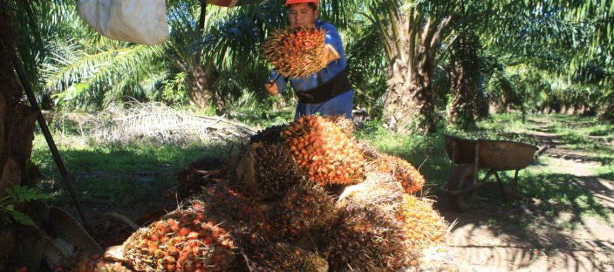 El aceite de palma mexicano quiere ser sostenible
