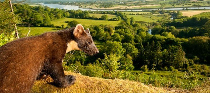 Cinco especies de mamíferos salvajes de Gran Bretaña 'en alto riesgo de extinción'