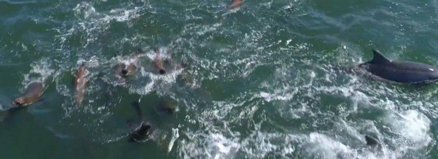 Un dron captura a 1.500 delfines jugando con dos ballenas