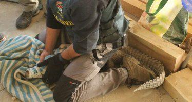 El tráfico de especies en España: angulas, loros y bolsos de cocodrilo