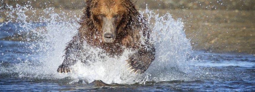 Hallado muerto un montañero por un ataque de un oso en Alaska