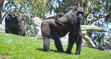 La difícil decisión que no salvó de morir a 'Mbeli', un bebé gorila del Bioparc