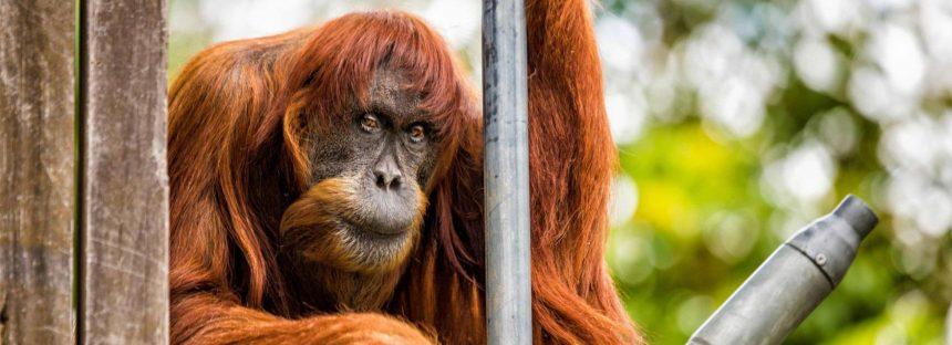 Muere 'Puan', la orangután más longeva del planeta, a los 62 años