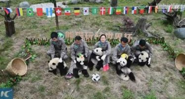 Osos panda celebran su propio mundial de fútbol