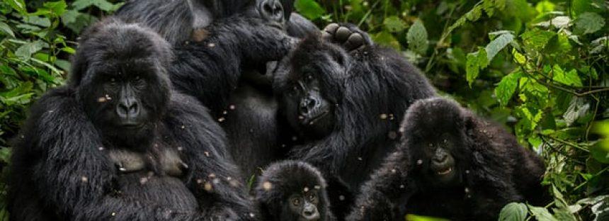 La población de gorilas de montaña supera los 1,000