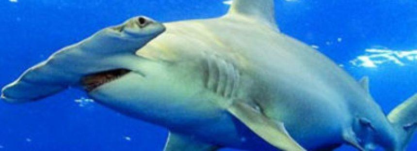 Tiburones de México del documentalista Gerardo del Villar