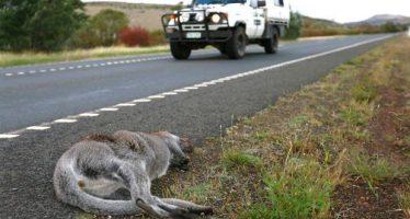 Tasmania es el punto más negro del planeta para su fauna local debido a los atropellos