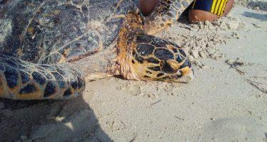 Una tortuga carey (Eretmochelys imbricata) varada, fue rescatada y liberada en Ría Lagartos