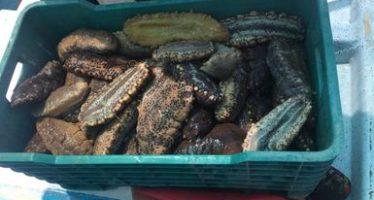 Decomisan carga ilegal de 84 kg. de pepino de mar (Isostichopus badionotus) en Dzilam de Bravo, Yucatán