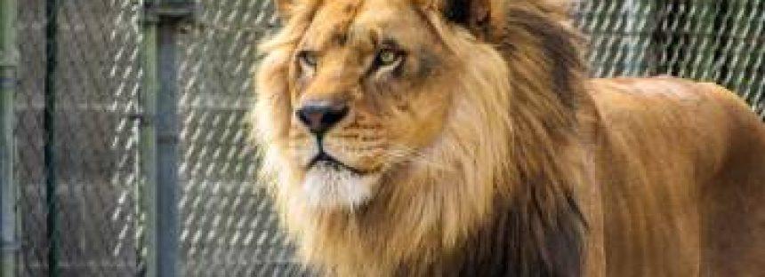 Capturados los dos leones, dos tigres y un jaguar que se escaparon de un zoo alemán