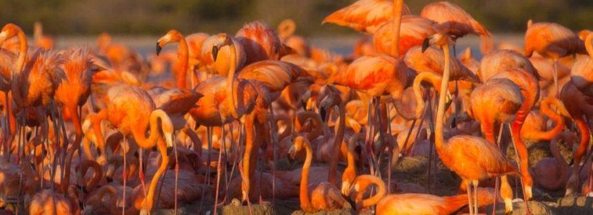 En Ría Lagartos, Yucatán, nacen los primeros polluelos de flamenco rosado (Phoenicopterus ruber) de 2018