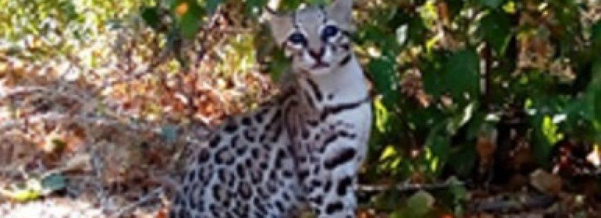 Liberan ocelote (Leopardus pardalis) y dos  linces (Lynx rufus) en Meseta de Cacaxtla, Sinaloa