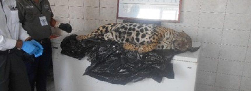 Investigan responsable de la muerte por atropellamiento de un jaguar (Panthera onca), en Nayarit