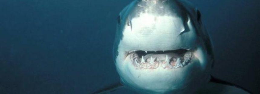 El ecoturismo altera el comportamiento de los tiburones blancos
