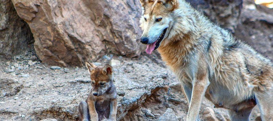 La recuperación de la población de lobo gris mexicano (Canis lupus baileyi) en la frontera norte es claramente exitosa