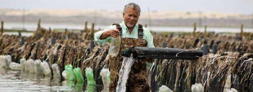 La captura y acuacultura de ostión, crece a un gran ritmo en México donde es pesquería fundamental