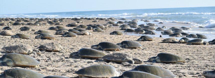 Tercera arribazón de tortugas lora (Lepidochelys kempii), con más de 8 mil ejemplares, es la más numerosa desde 2011 en Rancho Nuevo