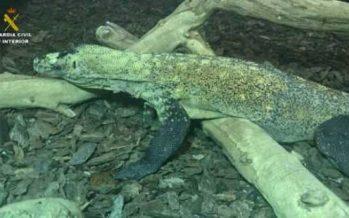 El primer dragón de Komodo hallado en Europa estaba en Cataluña