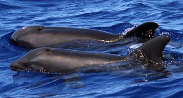 """No lo llamen """"wholphin"""": primer avistamiento de un extraño híbrido ballena-delfín"""