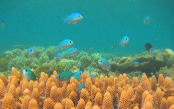 ¿Cómo están dañando las ratas los arrecifes de coral?