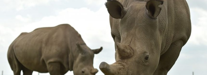 Los primeros embriones de rinoceronte de tubo de ensayo podrían traer de regreso a la especie extinta