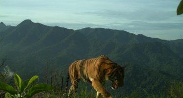 Tigre de Sumatra atrapado en la cámara