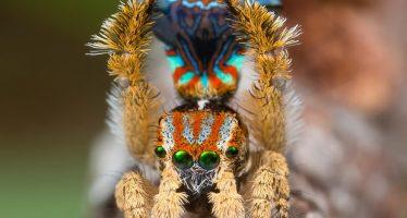 Dos nuevas arañas pavo real identificadas en Australia Occidental