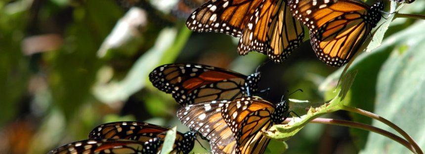 Participar en la Misión Mariposa Monarca, Blitz 2018