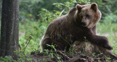 Hallan el cadáver de un oso pardo adulto en Cantabria