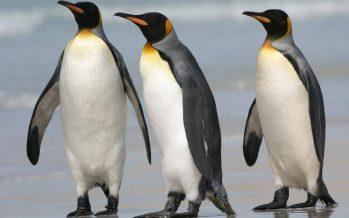 La mayor colonia de pingüino rey, en declive masivo