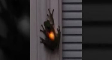 La 'rana luminosa' que brilla en la oscuridad tras comerse una luciérnaga