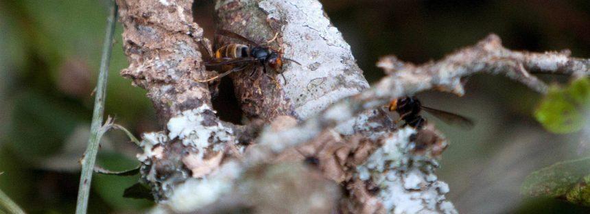 Muere un hombre en Galicia por dos picaduras de una avispa asiática