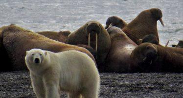 El cambio climático pone a la población de morsa del Pacífico en hielo delgado