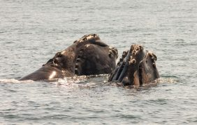 Huesos de ballenas antiguas encontrados en tres sitios romanos de procesamiento de pescado