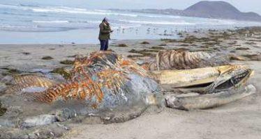 Vara y muere una ballena jorobada (Megaptera novaeangliae) en San Quintín, Baja California