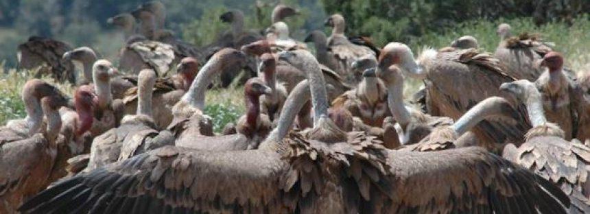 Carroñeros: gran diversidad de especies y funciones ecológicas