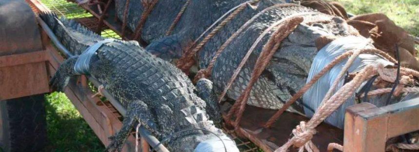 Capturado un cocodrilo gigante en un río de Australia tras 10 años de acecho
