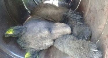 Capturan y reubican un oso negro (Ursus americanus) que deambulaba en fraccionamiento Mil Encinos, en Montemorelos, NL