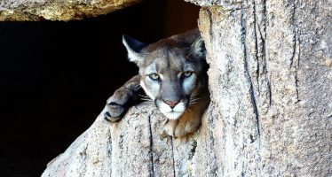La administración Trump busca limitar algunas protecciones para especies en peligro de extinción