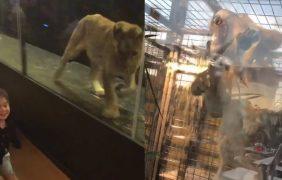 Cerrado el café turco que exhibía a la leona 'Khaleesi' en un jaula de cristal