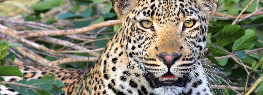Los cazadores furtivos ahora usan veneno para matar leopardos en India