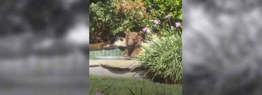 Un oso se cuela en un jacuzzi particular en California